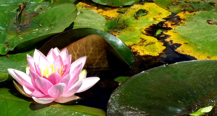 2008 - Water lily - Malaga, Spain