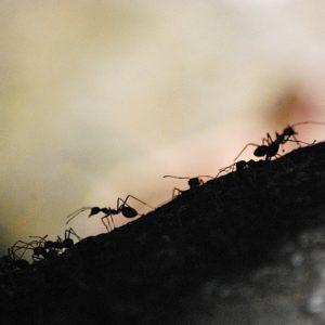 2010 - Ants - Sematan, Malaysia