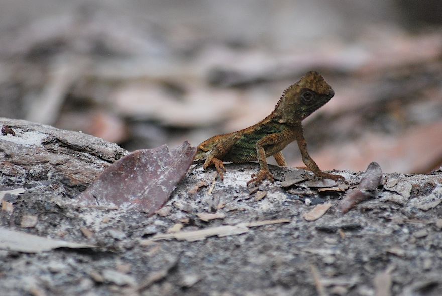 Bako Lizard – Nature