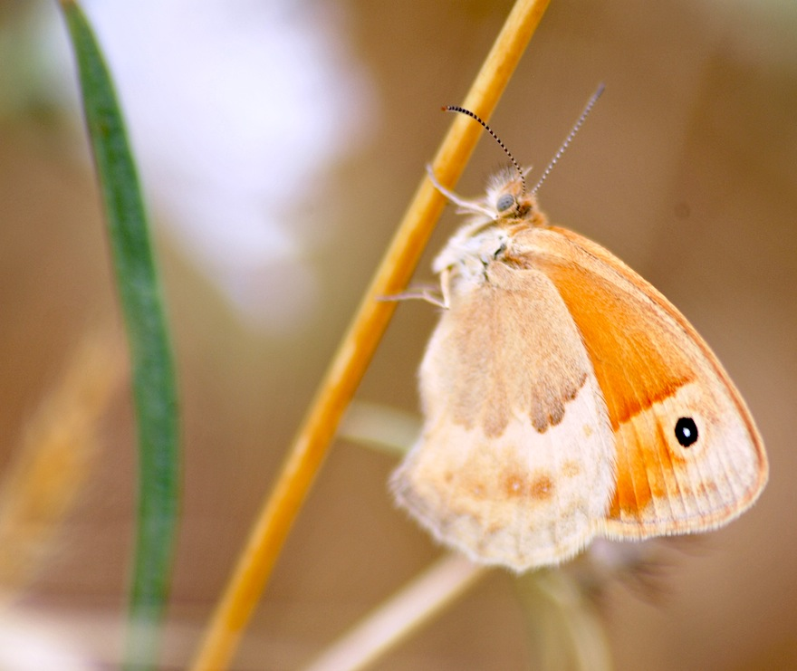 2011 - Orange butterfly - Ürgüp, Turkey