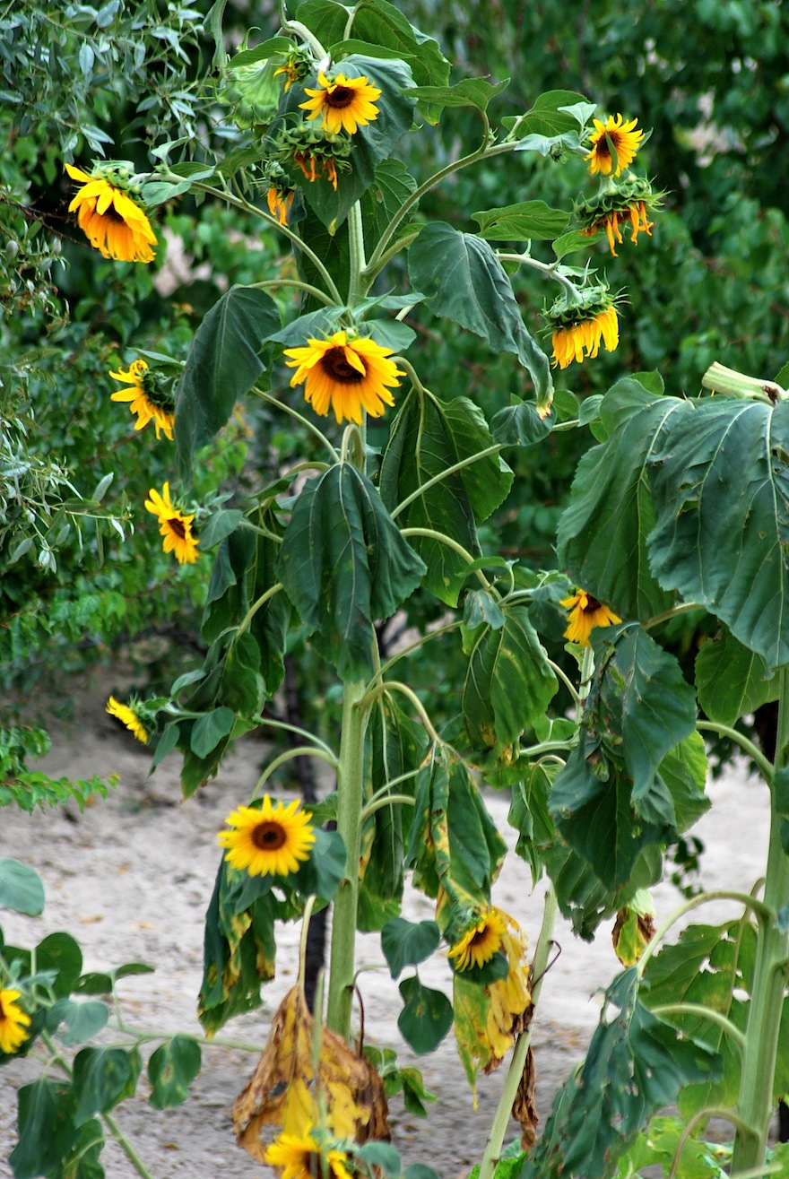2011 - Sunflower sunset - Ürgüp, Turkey