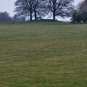 2012 - Two trees and sheep - Amesbury, England