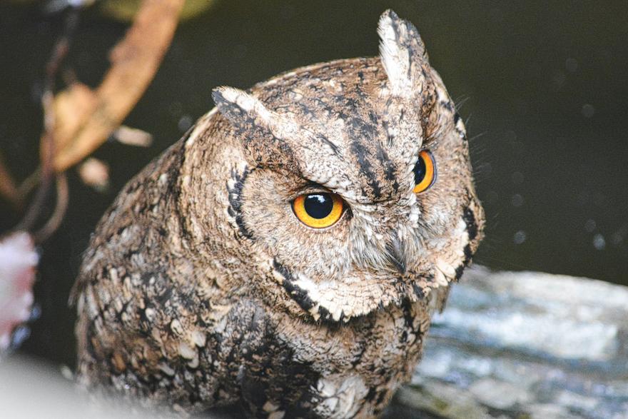 2017 - Owl in Hamarikyu garden - Tokyo, Japan (5426x3617)